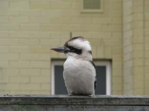 Kookaburra sits on our back fence